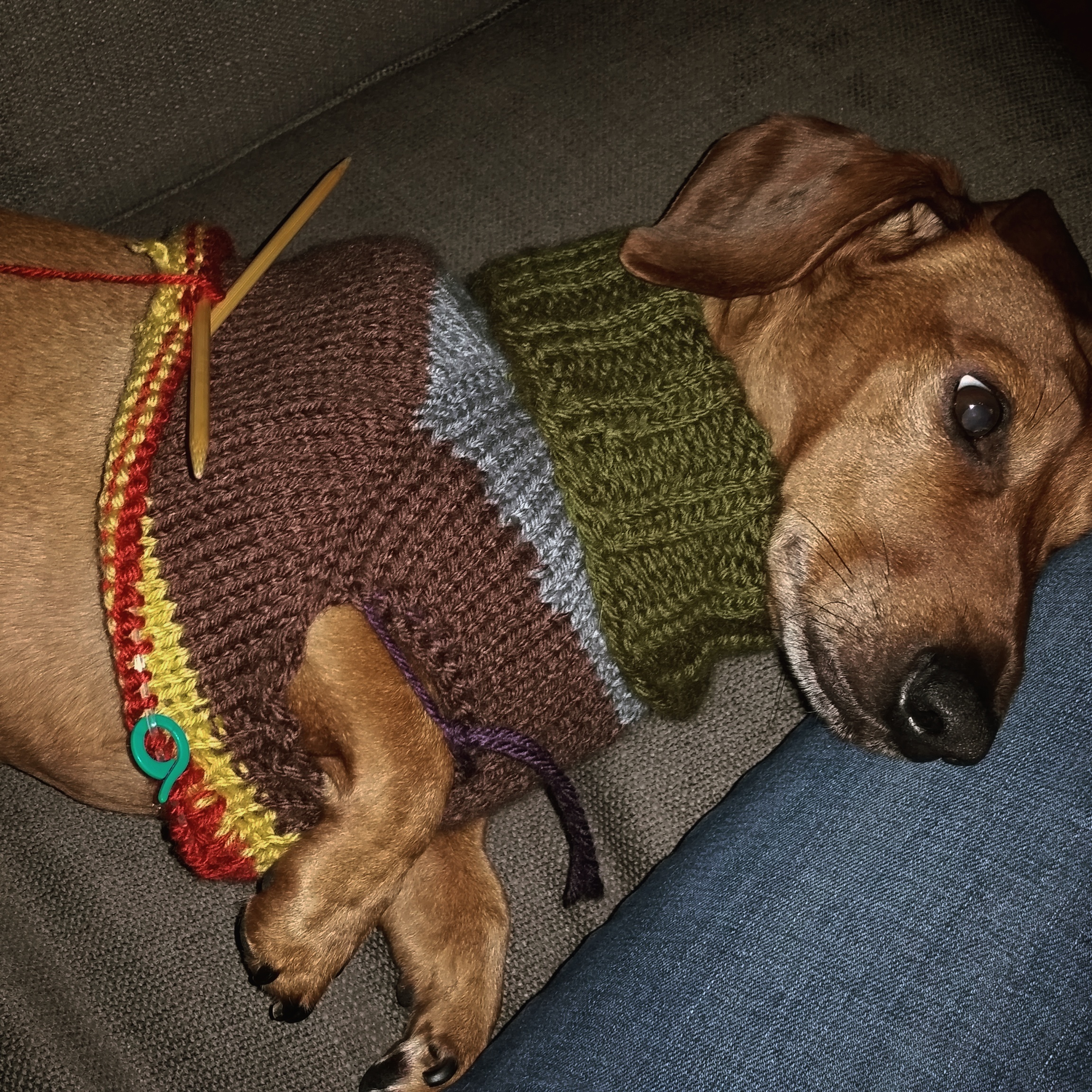 My Dachshund in a half knit sweater
